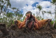 Mención Honorífica, Vida silvestre. EN BÚSQUEDA Los orangutanes están acostumbrados a vivir en los árboles y se alimentan de frutas silvestres como lichis, mangostanes e higos, y beben agua a sorbos en los agujeros de los árboles. Canadá. Autor: Thomas Vijayan.