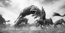 Mención Honorífica, Vida silvestre. MANADA DE ÑUS EN MOVIMIENTO Reserva Nacional de Maasai Mara, Kenia. Durante el frenesí de cruzar el río Mara, los ñus saltaban, pataleaban, correteaban y corrían. Reino Unido. Autor: Anup Shah.