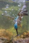 Mención Honorífica, Acuáticas - América Latina. AVE AL AGUA Esta especie acuática y aérea, llamada el Martín Pescador, aquí la observamos sumergida pescando debajo del agua y con sus alas abierta en un lago. Colombia. Autor: Ran Castillo.