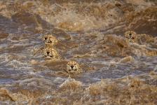 Primer Lugar, Vida silvestre. UN BAÑO TURBULENTO Estos guepardos machos buscaban cruzar el río en medio de poderosas corrientes. Parecía una tarea condenada al fracaso y nos alegramos cuando llegaron al otro lado. Australia. Autor: Buddhilini de Soyza.