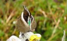 Un colibrí nativo de Colombia reapareció después de 70 años